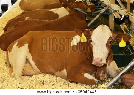 Cows Lying On The Straw In The Stable
