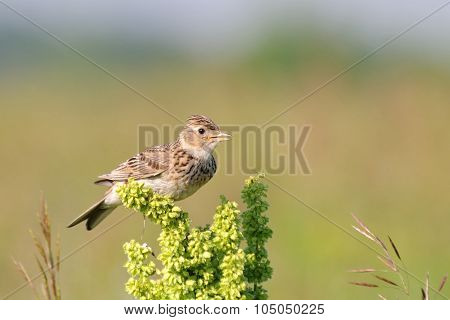 Singing Skylark At Grass Perch At The Meadow
