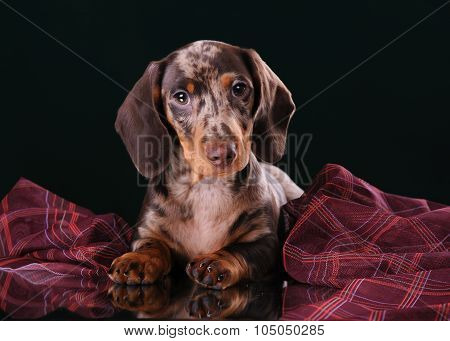 Dachshund puppy lying on a mirror