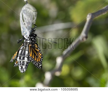 Monarch Butterfly Being Born