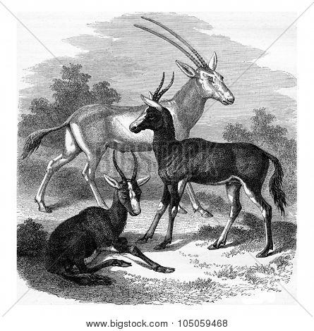 Scimitar-horned Oryx antelope, Antelopes Bless-Bok, vintage engraved illustration. Magasin Pittoresque (1882).