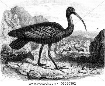 The giant ibis, discovered in 1876 on the banks of Mekong (Cambodia), vintage engraved illustration. Magasin Pittoresque (1882).