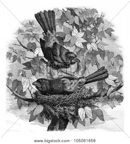 The Ramphocelus and its nest, vintage engraved illustration. Magasin Pittoresque 1877.