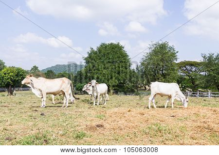 Cow Standing In Farm