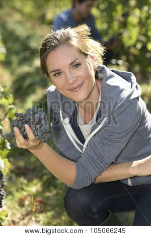 Young woman harvester working in vineyard