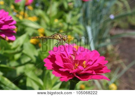 Dragon fly on pink flower
