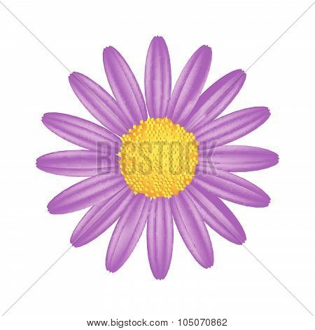 Purple Daisy Flower On A White Background