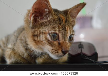 kitten lay on laptop and computer mouse