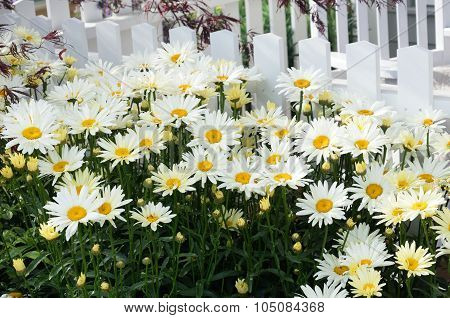 Daisies by white picket fence
