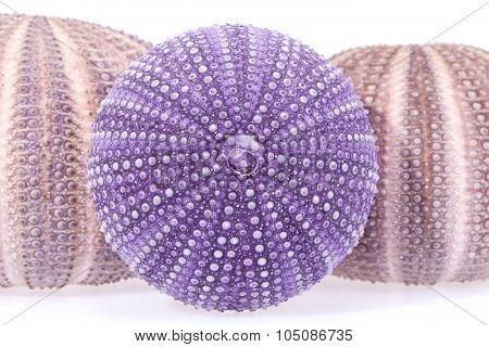 Some Seashells Of Sea Urchin On White Background