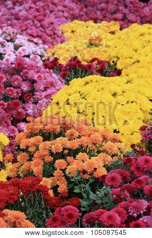 Bed of colorful Fall Mums