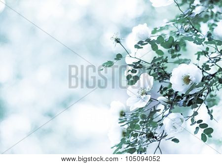 Blur Spring Blossom Background. Blurred Background With Of Blossoming Roses