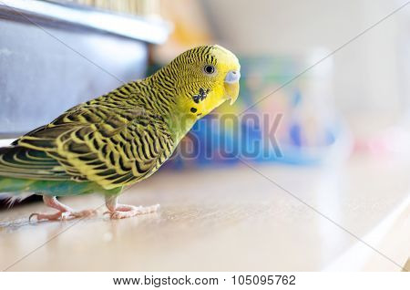 Green Budgerigar (domestic Budgie)