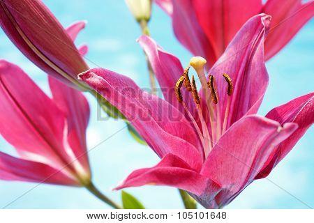 Pink Lilium Flowers