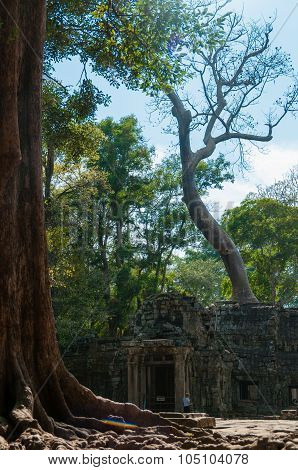 Tree in front of temple Ta Prohm