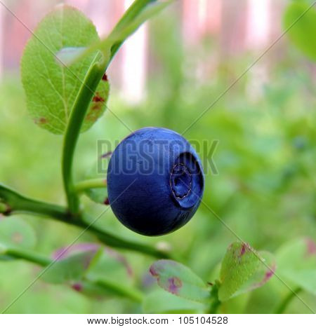Big Colorful Mature Blueberry
