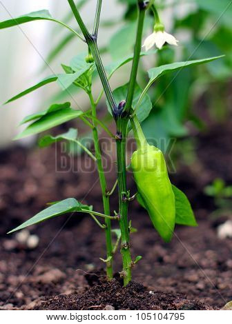 Close-up Of A Young Pepper Plant