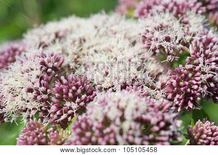 Valerian In Bloom.