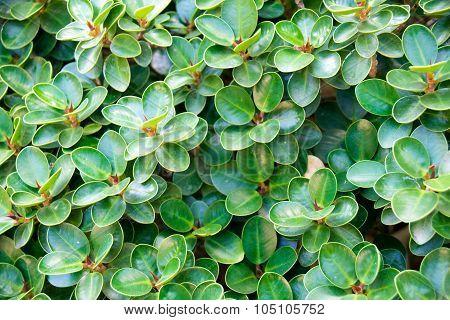 Green leaf banyan ( Ficusannulata Blume ) abstract background