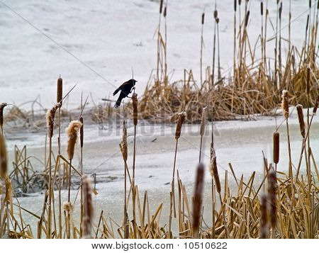 Red Winged Blackbird In A Frozen Marsh Area On An Overcast Day