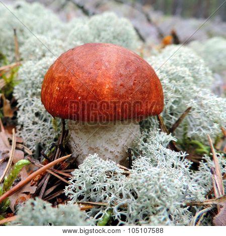 Close-up Of A Orange-cap Boletus