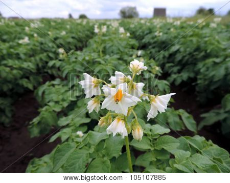 Macro Photo Of Blooming Potato Flower