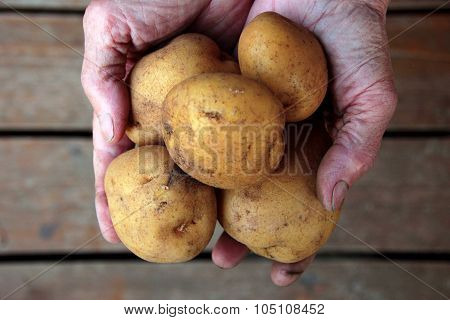 Handful Of Potatoes In The Wrinkled Hands