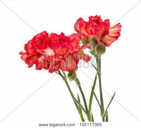 Variegated Carnation