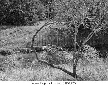Masquite Tree Bw