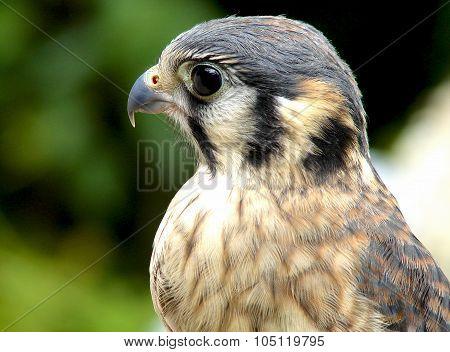 American Kestrel falcon