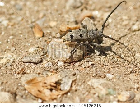 Grey bug - beetle bug