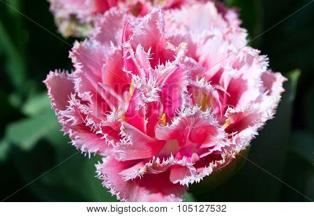 Pink Fringe Tulip