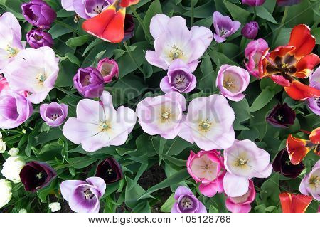 Various Tulips In Flower Bed