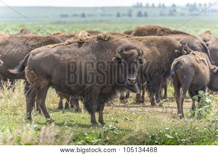 Buffalo (bison) herd