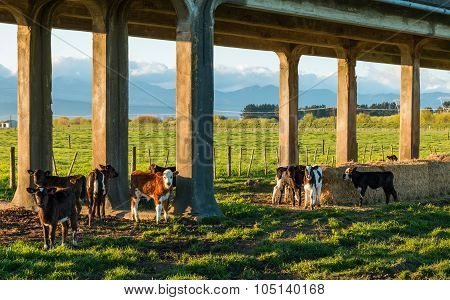 Trestle Bridge Calves