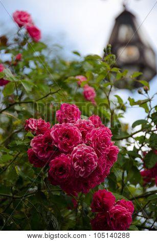 Wild Rose In Burg Altena