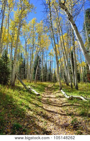 Colourful Aspen Forest During Foliage