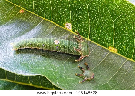 Caterpillar Of Tawny Rajah Butterfly With Old Mask