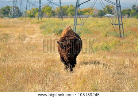American Bison Buffalo On An Urban Wildlife Preserve