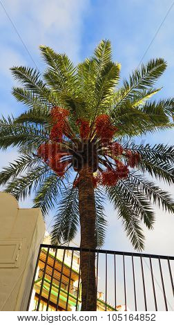 Date Palm With Ripe Fruit