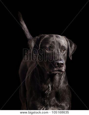 Chocolate Dog.
