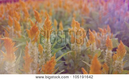 Yellow Cockscomb Flower, Blooming Light Blur Background