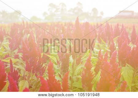 Red Cockscomb Flower, Blooming Light Blur Background