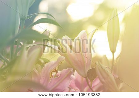 Beautiful Lilly Blooming In Spring Garden With Blurred Background, Yellow Tone