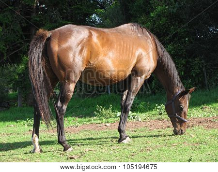Grazing Bay Mare