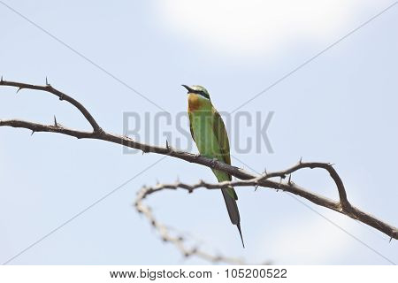 Blue-cheeked Bee-eater, Kenya