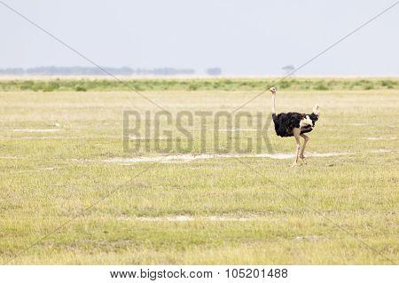 Ostrich In Amboseli, Kenya