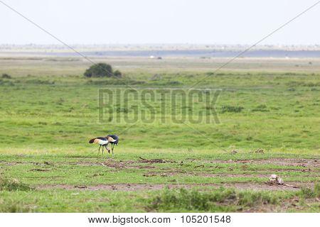 Grey Crowned Cranes, Kenya