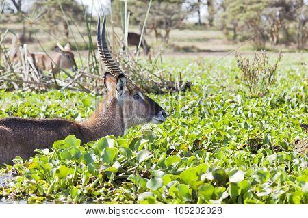 Waterbuck In Kenya