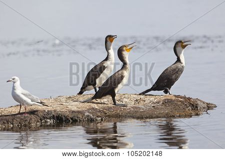 Reed Cormorants In Kenya